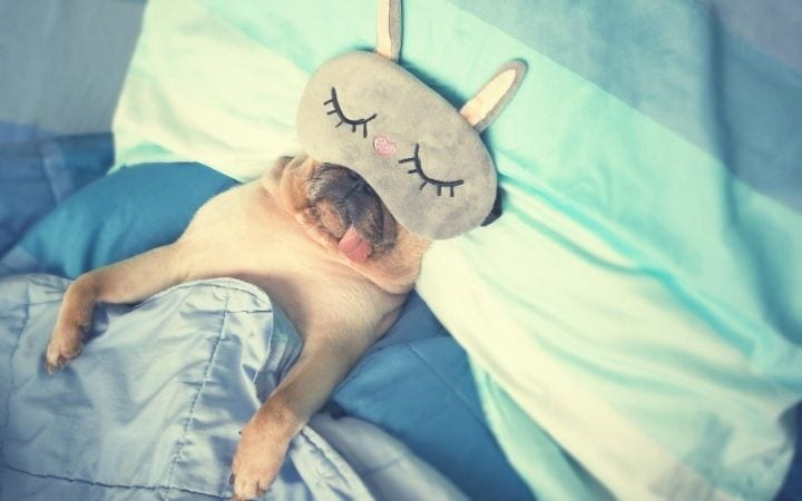Pug sleeping in bed with mask on, 50 Best Dog Puns - I Love Veterinary