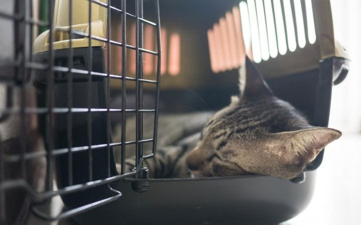 Sedated cat, Benadryl for cats can be used to sedate cat - I Love Veterinary