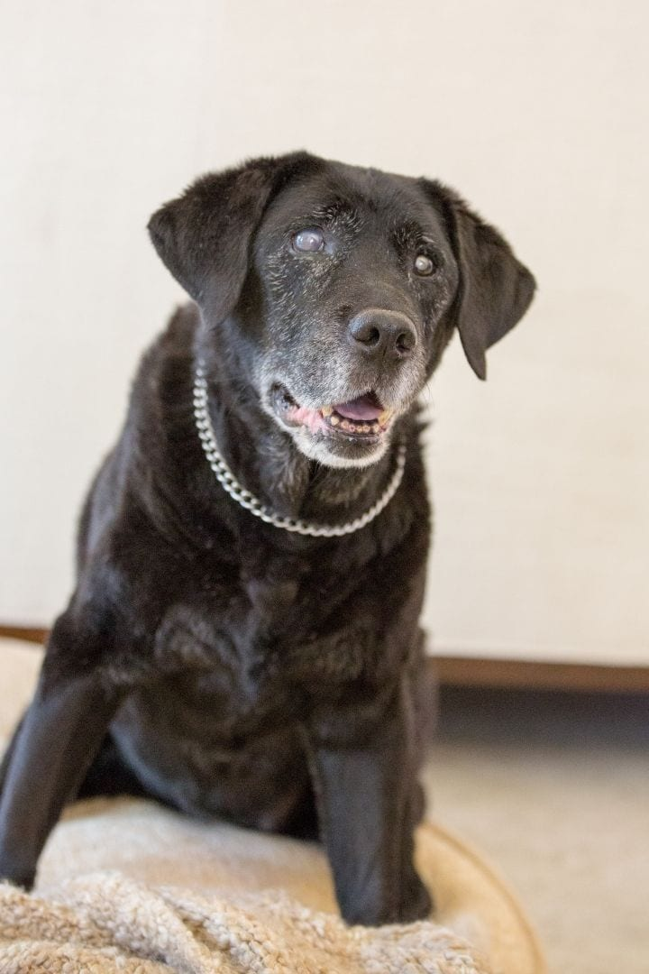 Senior Black Labrador with cataracts, Cataracts in Dogs - I Love Veterinary
