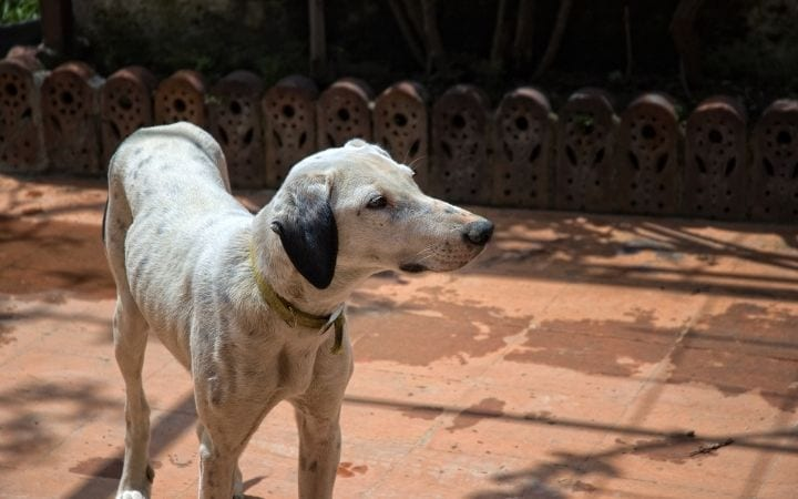 Dog with anorexia, Unpacking the Symptoms, Treatments and Causes of IMHA - I Love Veterinary