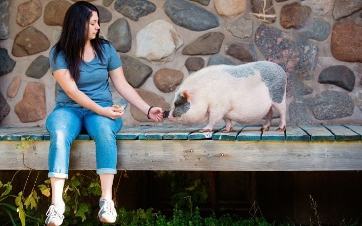 Pet pig training with and owner,A Comprehensive guide about the things you weren't told before you got a pet pig - I Love Veterinary