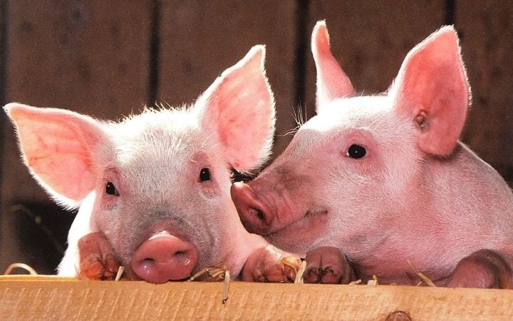 Piglets, A Comprehensive Guide About the Things You Weren't Told Before You Got a Pet Pig - Part One - I Love Veterinary